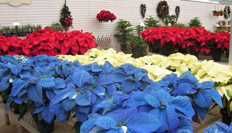 Vánoční hvězda různé barvy