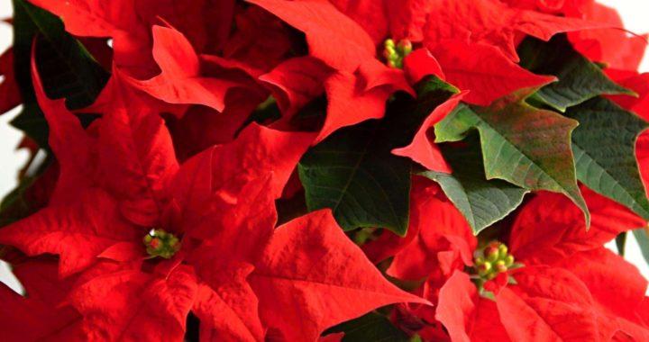 Vánoční hvězda pěstování