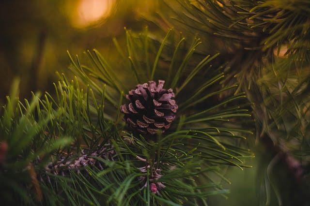 Živý vánoční stromek borovice